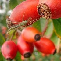 Шиповник и его полезные свойства: источник витаминов
