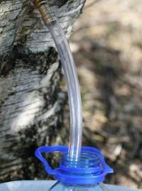Березовый сок – источник энергии и стимулятор иммунитета