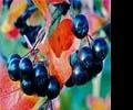 Черноплодная рябина – красота и польза «в одном флаконе»