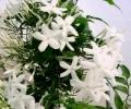 Жасмин в парфюмерной индустрии: Восток и Запад в одном флаконе