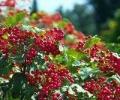 Калина - ягода полезная