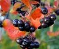 Вино из черноплодной рябины: рубиновый напиток здоровья