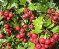 Настойка боярышника в домашних условиях – из цветков или плодов